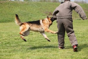 German Shepherd dog being trained